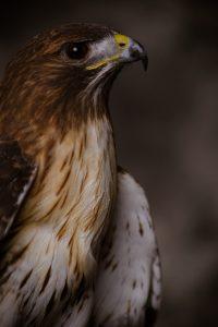 Hawk - Rabbit predator