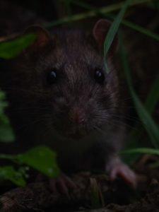 Rats - Predator to baby rabbits