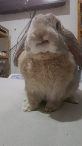 Rabbit licking lips for carrot