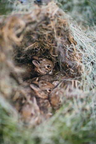 Baby Rabbits in Nest