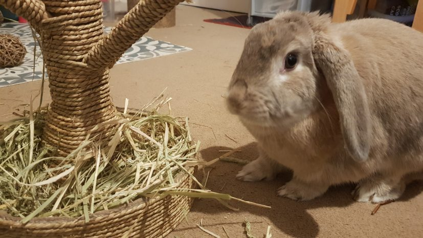 Rabbits are herbivores and eat grass hay